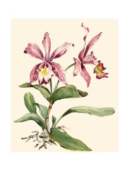 Pink Cattleya Orchid-Joy Waldman-Art Print