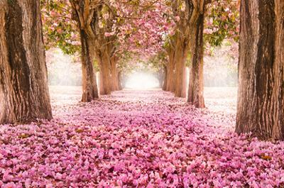 Pink Cherry Blossom Tunnel