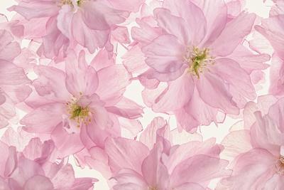 https://imgc.artprintimages.com/img/print/pink-cherry-blossom_u-l-q12ty2w0.jpg?p=0