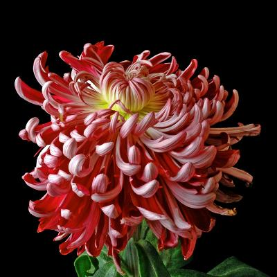 Pink Chrysanthemum 3-Magda Indigo-Photographic Print