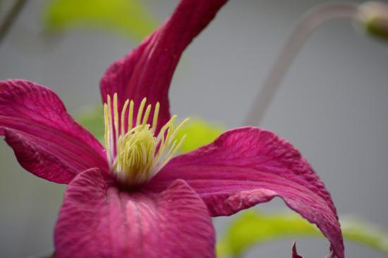 Pink Clematis-Savanah Stewart-Photographic Print