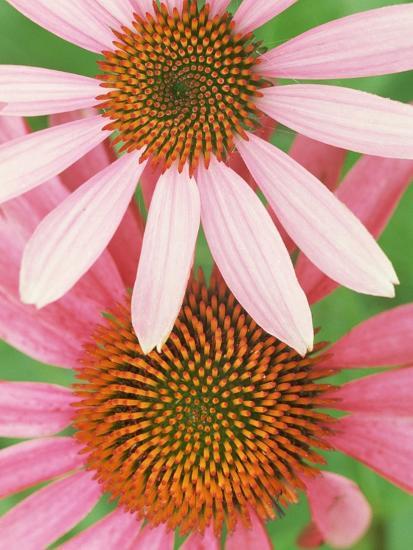 Pink Cone Flowers Close-Up-Richard Hamilton Smith-Photographic Print
