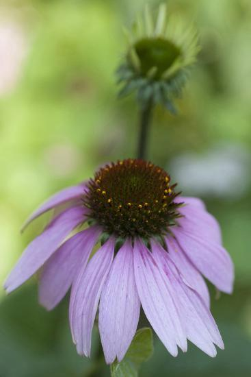 Pink Coneflowers-Anna Miller-Photographic Print