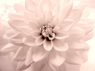 Pink Dahlia 2-Judy Stalus-Photographic Print