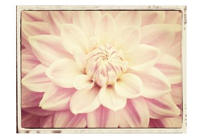 https://imgc.artprintimages.com/img/print/pink-dahlia-6a-vintage_u-l-f8ixel0.jpg?p=0