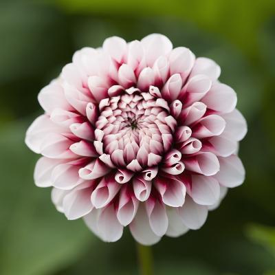 Pink Dahlia Tip Toe-Clive Nichols-Photographic Print