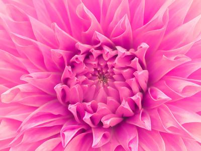Pink Dahlia-Lebens Art-Art Print