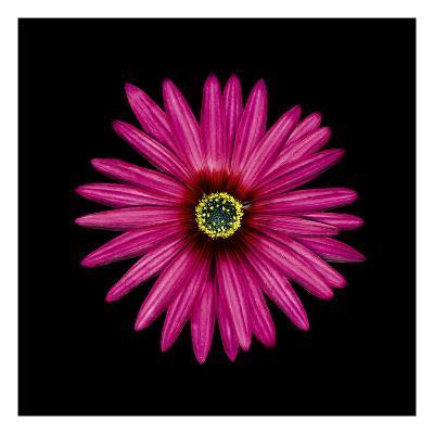 Pink Daisy-JoSon-Premium Photographic Print