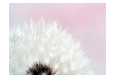 Pink Dandelion 2-Tracey Telik-Art Print