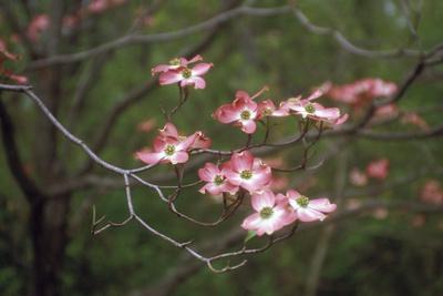 https://imgc.artprintimages.com/img/print/pink-dogwood-blooms_u-l-q10vo930.jpg?p=0