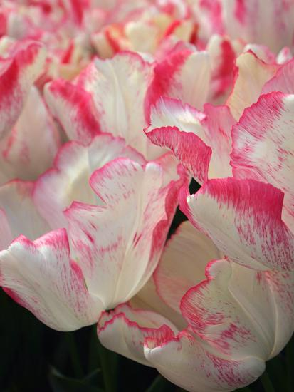 Pink Edged White Tulips-Anna Miller-Photographic Print