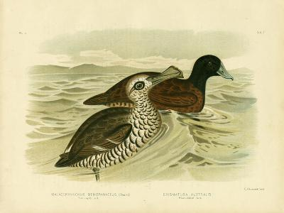 Pink-Eyed Duck, 1891-Gracius Broinowski-Giclee Print