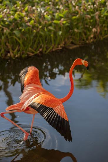 Pink Flamingo, Bavaro, Higuey, Punta Cana, Dominican Republic-Lisa S^ Engelbrecht-Photographic Print