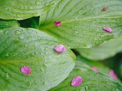 Pink Flower Petals Resting on Dew Drenched Hosta Leaves-Heather Perry-Photographic Print