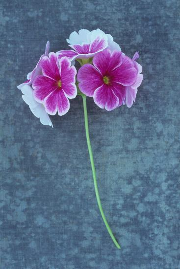 Pink Flowers-Den Reader-Photographic Print
