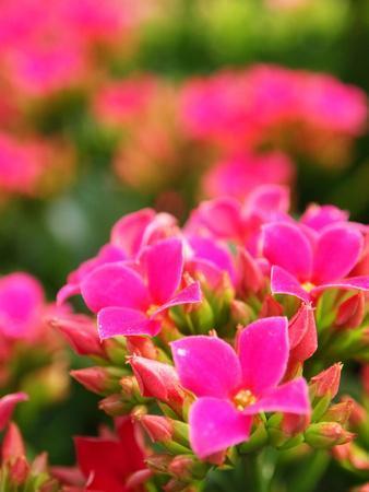 https://imgc.artprintimages.com/img/print/pink-flowers_u-l-q12yvqt0.jpg?p=0