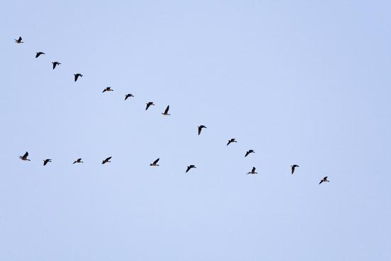 Pink-Footed Geese Flying in a 'V' Formation--Photographic Print