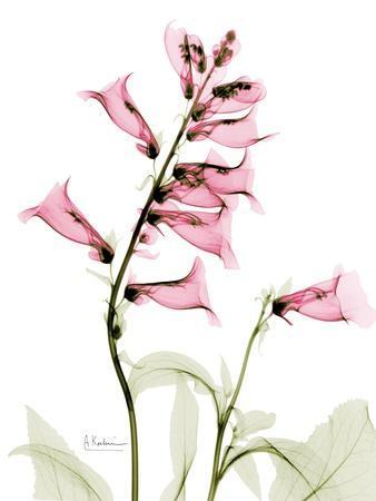 https://imgc.artprintimages.com/img/print/pink-foxglove-portrait_u-l-pyjop00.jpg?p=0