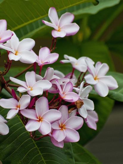 Pink frangipani in bloom-Bob Krist-Photographic Print