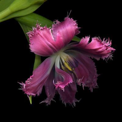 Pink Frazzled Tulip-Magda Indigo-Photographic Print