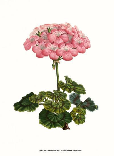 Pink Geranium III-Van Houtt-Art Print