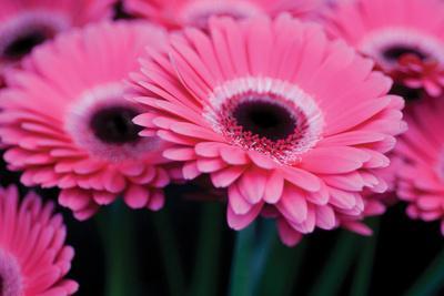 https://imgc.artprintimages.com/img/print/pink-gerbera-daisies-1_u-l-q10pmm70.jpg?p=0