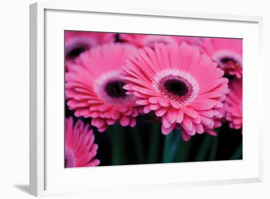 Pink Gerbera Daisies 1-Erin Berzel-Framed Photographic Print