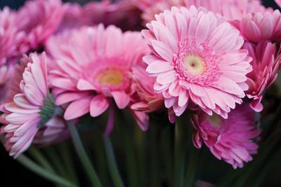 https://imgc.artprintimages.com/img/print/pink-gerbera-daisies-2_u-l-q10pmj10.jpg?p=0