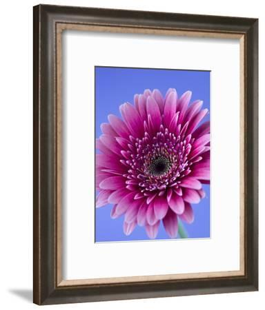 Pink Gerbera Daisy-Clive Nichols-Framed Photographic Print