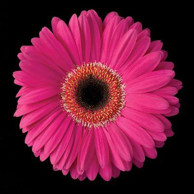 Pink Gerbera Daisy-Jim Christensen-Photographic Print