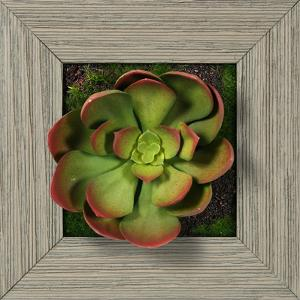 Pink Green Echeveria Square - Farmhouse Gray