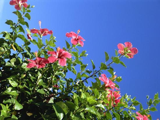 Pink Hibiscus Flowers, Bermuda, Central America-Robert Harding-Photographic Print