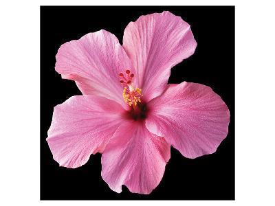 Pink Hibiscus-Christine Zalewski-Art Print