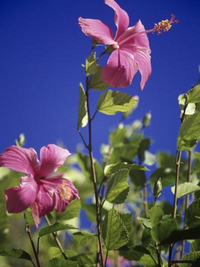 Pink Hibiscus-Chel Beeson-Photographic Print