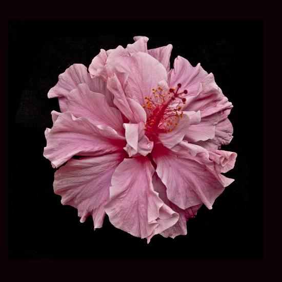 Pink Hibiscus-Lee Peterson-Photographic Print