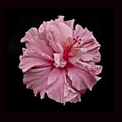 https://imgc.artprintimages.com/img/print/pink-hibiscus_u-l-q10pvs60.jpg?p=0