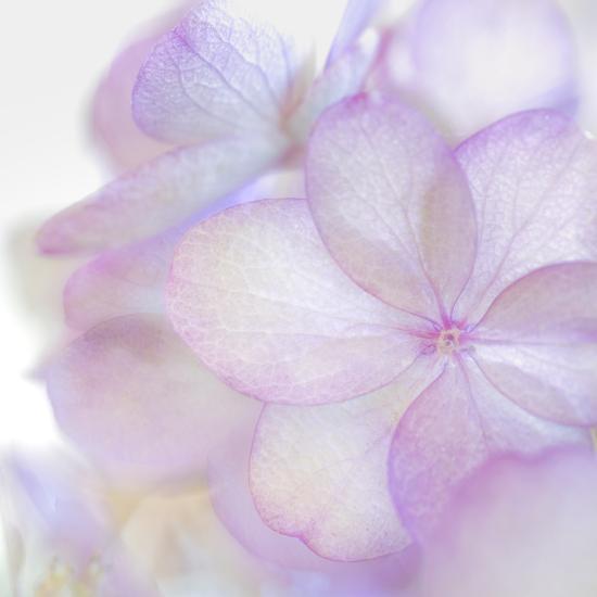 Pink Hydrangea II-Kathy Mahan-Photographic Print