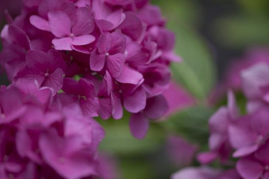 Pink Hydrangeas I-Rita Crane-Photographic Print