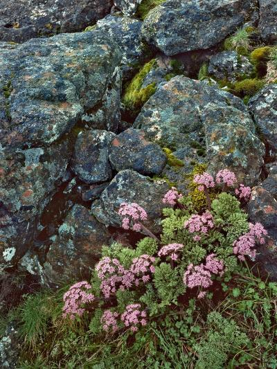 Pink Lomatium Flowers and Lichen Covered Rocks-Steve Terrill-Photographic Print