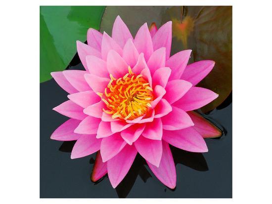 Pink Lotus Flower In Pond Art Print By Art