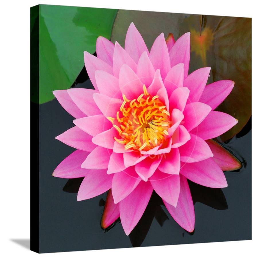 Pink Lotus Flower In Pond Stretched Canvas Print By Art