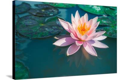 Pink Lotus Flower in Pond--Stretched Canvas Print