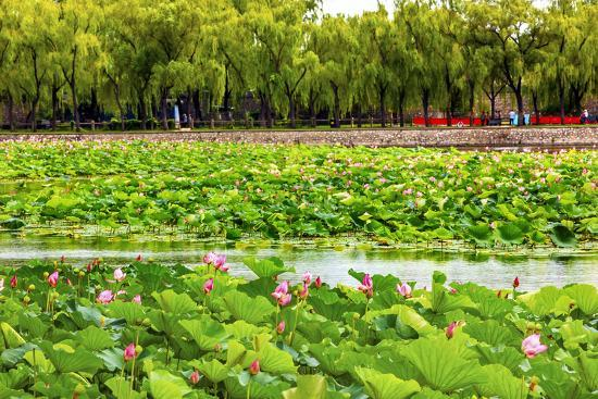 Pink Lotus Pads Garden Summer Palace, Beijing, China-William Perry-Photographic Print