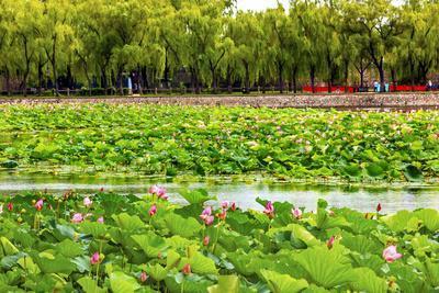 https://imgc.artprintimages.com/img/print/pink-lotus-pads-garden-summer-palace-beijing-china_u-l-q13c3rh0.jpg?p=0