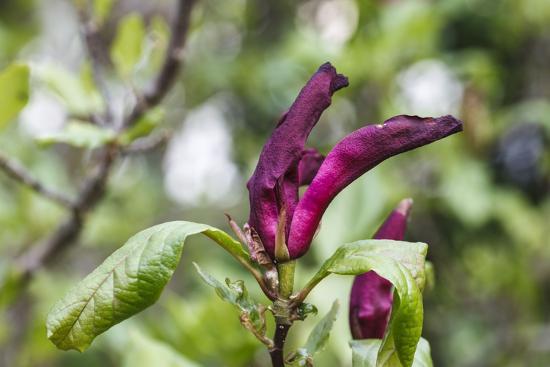 Pink Magnolia 'Susan'-Waldemar Langolf-Photographic Print