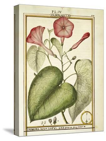 Pink Morning Glory (Ipomoea Carnea), 1789
