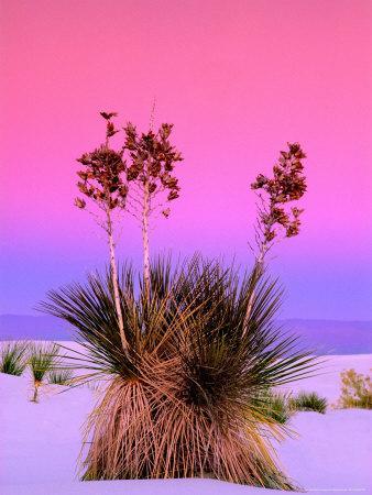 https://imgc.artprintimages.com/img/print/pink-morning-sky-with-yucca_u-l-pxz05b0.jpg?p=0