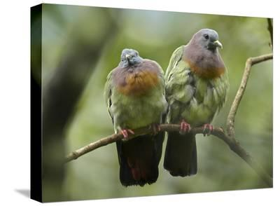Pink-necked Green-Pigeon pair, Jurong Bird Park, Singapore-Tim Fitzharris-Stretched Canvas Print