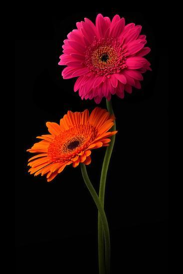 Pink, Orange Gerbera with Stem Isolated on Black-Hanna Slavinska-Photographic Print