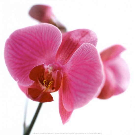 Pink Orchid-C?dric Porchez-Art Print
